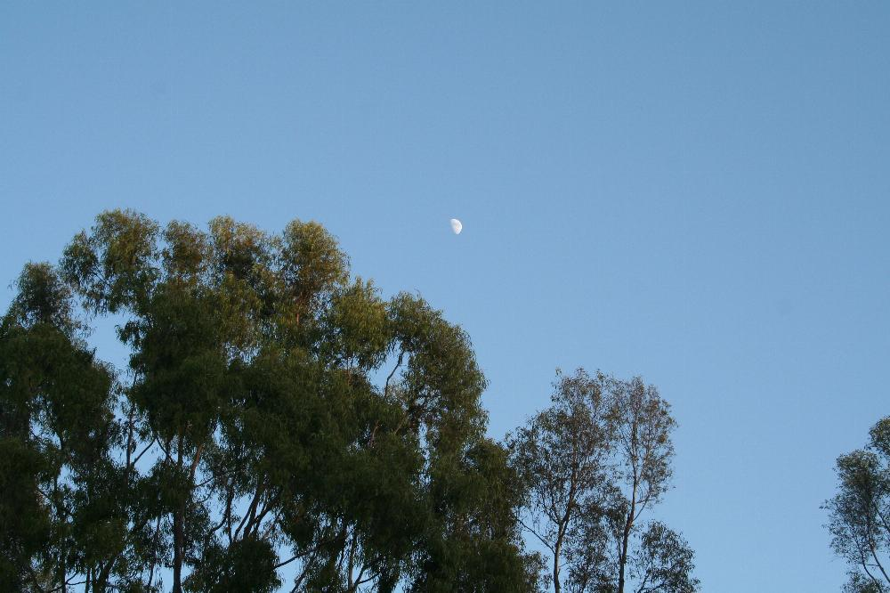 A third-quarter moon over trees just before sunset.